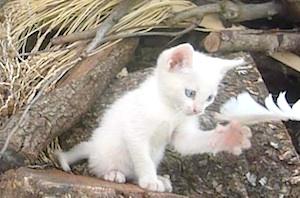 gatojugando